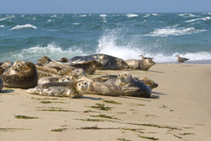 Seals on Nantucket Beach